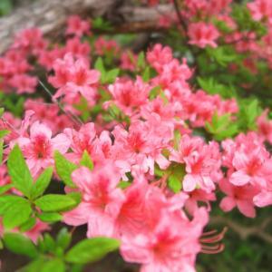 サンバレー付近!ツツジが咲き始めました★
