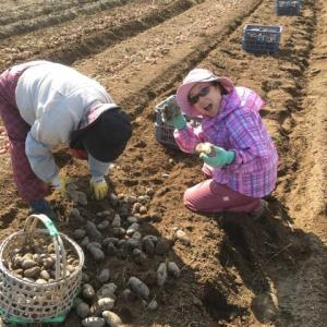 【さちえ】です~手収穫&選果⇒2019遠藤農場エコじゃがセットの仲間