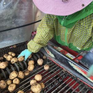 【さちえ】です~芋の収穫真っ盛り!!( ^)o(^ )
