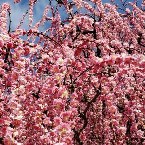 淡路の有名スポット! 八木のしだれ梅が満開だった