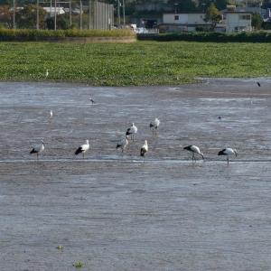 溜め池にコウノトリが14羽も居るとはビックリです。