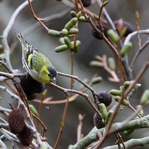 冬の黄色い鳥マヒワの群れにに出会えました。