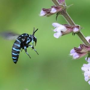 幸せを運んでくれる青いハチです。