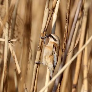 芦原の野鳥達
