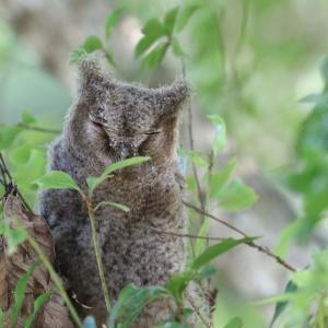 オオコノハズクが2羽とも巣立ちました。