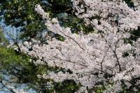 伊賀市・上野公園の桜が満開