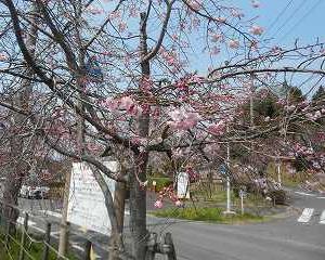 東谷山のしだれ桜