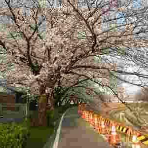 香流川を桜ウォーキング