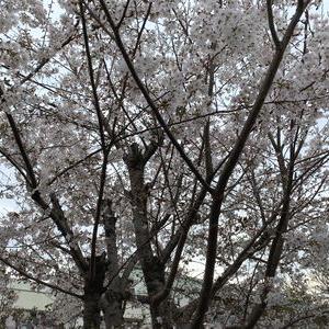 桜満開&プラン修正打ち合わせ・・・