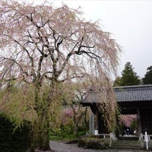 駒ヶ根観光 ~光前寺の桜~