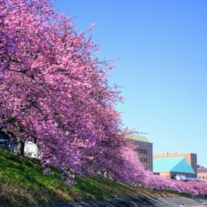 徒歩で行く、岡崎乙川沿いの河津桜(葵桜)2021