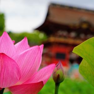DAHONで行く、茅の輪くぐりの日に咲く、伊賀八幡宮の蓮沼2021