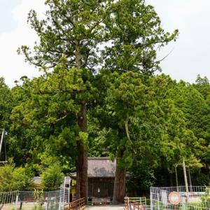 巨樹を尋ねる、作手村、白鳥神社の二本杉