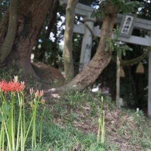 赤い彼岸花は何もせずとも咲き出すもの、矢作川ロング