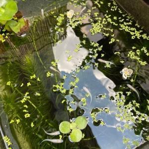 されどコロナの日々66:アナカリスの花