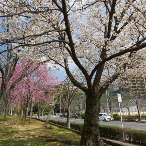 2020桜♡