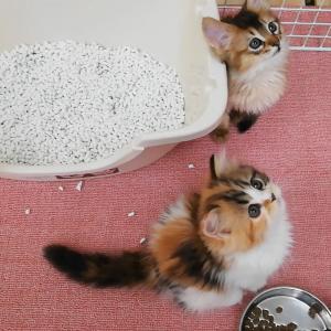 飼い主様募集中の子猫★ソマリとマンチカン