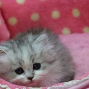 飼い主様募集中の子猫・ソマリ&ミヌエット