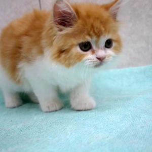 飼い主様募集中のマンチカンの子猫