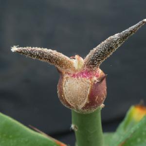 カプトメデューサの茎肥大