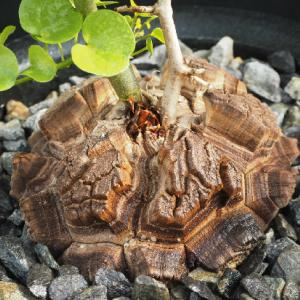 再挑戦の亀甲竜