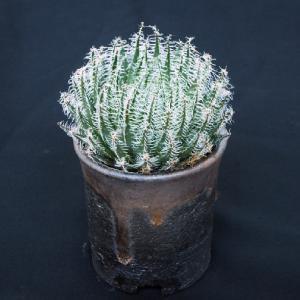 渋い鉢に植えられたギガス