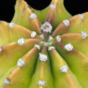 プシス原種達 その3 初夏の夜に咲くサブデヌーダ