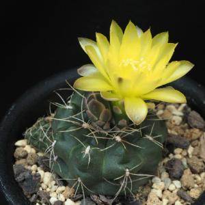 爽やかな黄花のギムノ