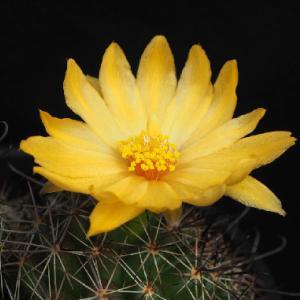 梅雨空を明るくする琴座の花