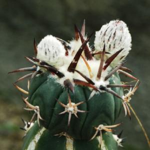 袖接ぎ太平の小株に花が着く