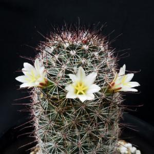 ディオイカ再び開花