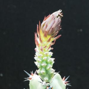 ヘンテコな袖の花芽