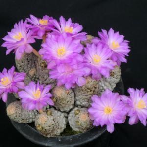 テレサエの優しい花と着果