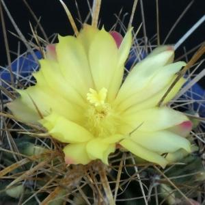 大虹錦の花が咲く