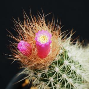 アロハドアの変わった花