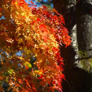 紅葉を撮りに