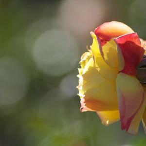 このバラはあなたに