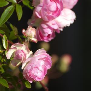 このバラをあなたに捧ぐ