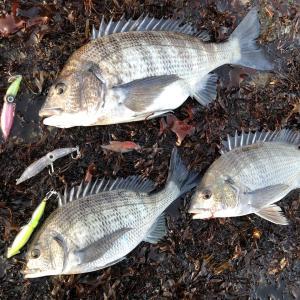 富山湾 ホタルイカパターンで黒鯛3枚、尺メバル1匹 3/30夜!