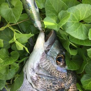 岸釣り 黒鯛トップ 今日はいい天気