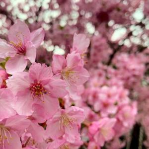第30回河津桜まつり 予約受付は午前0時よりネット予約先行です