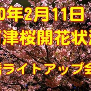 河津桜開花状況 2月11日館橋ライトアップ会場 を見てきました