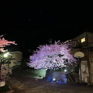 河津桜まつり開幕1週間 2/18 うちの河津桜もライトアップ