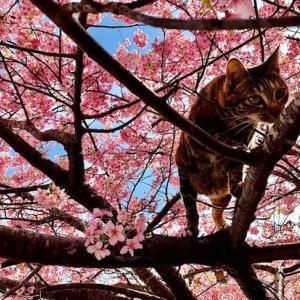 河津桜まつり 10日立ちました 河津桜はピークに