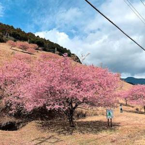 3月に入りました 河津桜まつり最終日まで実施決定 河津鉢の山は河津桜の見頃をキープ