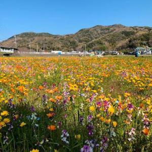 伊豆 松崎町 田んぼをつかった花畑を空撮してきました
