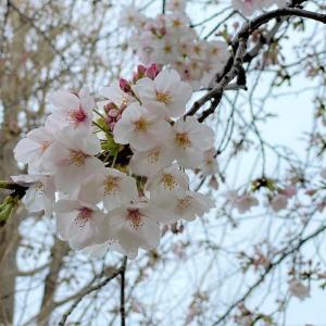 日本人は昔から桜の花と共に生きてきた