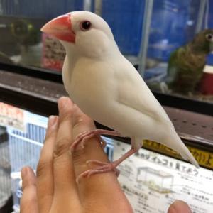 ●白文鳥決まりました!●