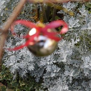 庭がクリスマス飾りで華やかに! 落葉樹でつくるクリスマスツリー!