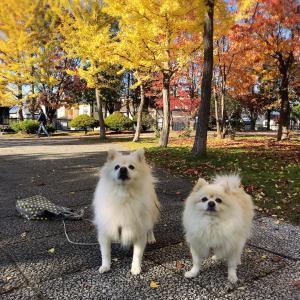末広中央公園で出会ったワンちゃん姉妹♪イチョウ並木、春光の紅葉*旭川市